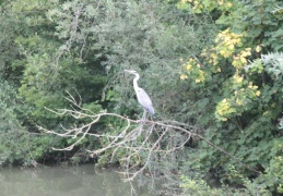 At last a heron staying still