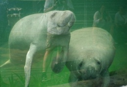dugongs or something similar. They call them sea cows, anyway.