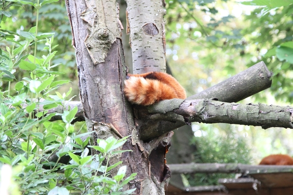 Red Panda, Lille Zoo