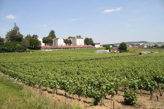 Ancient vineyard on the outskiets of the old town, still producing