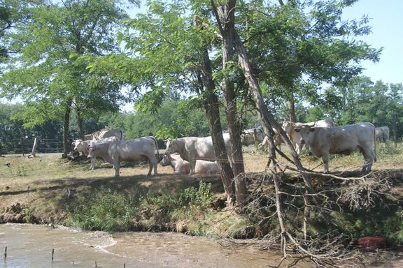 Charolais cattle close to the canal