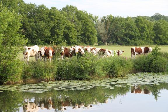 Charolais cattle along the banks