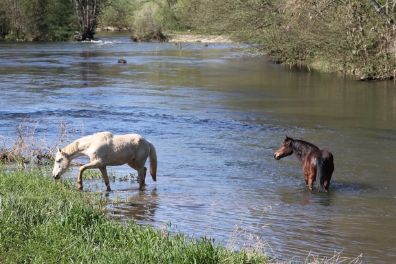 Horses wading across the river