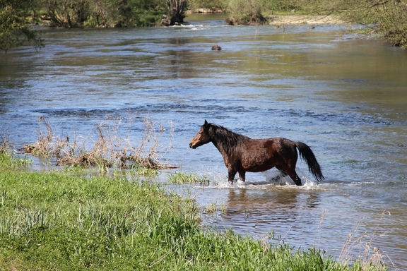 Horse wading across the river