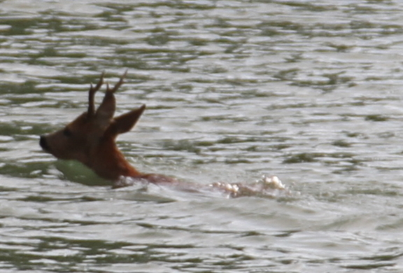Deer swimming across the River Seine