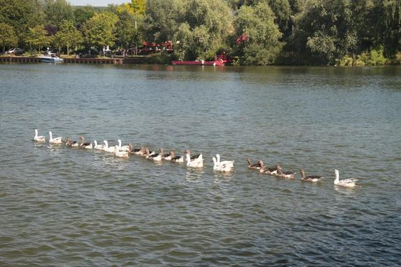 Geese in line, Mosel