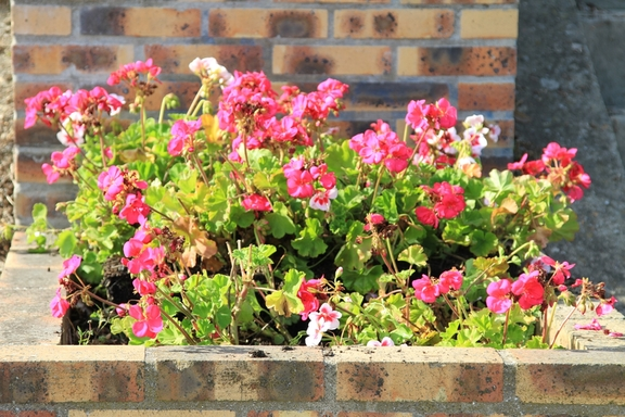 Anja's geraniums transplanted at Andresy