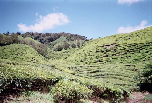 tea plantations in the Cameron Highlands.