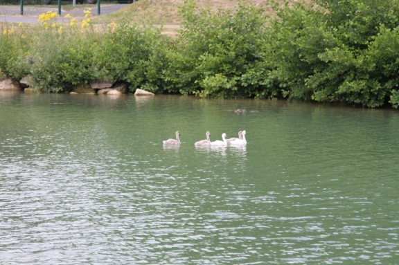 Cygnets are just changing colour