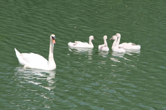 Large Swan family