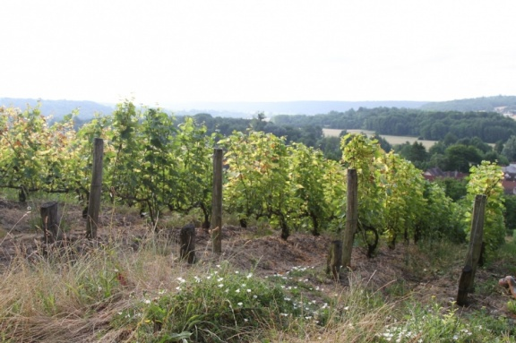 The Champagne vines grown closest to Paris, at Nanteuil